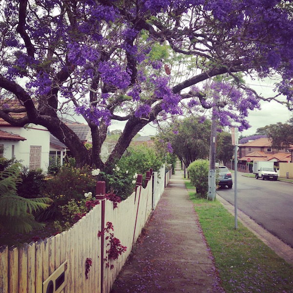 Sydney spring jacaranda trees